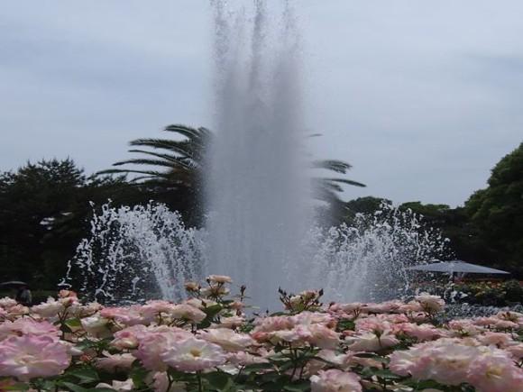 大噴水とバラ1