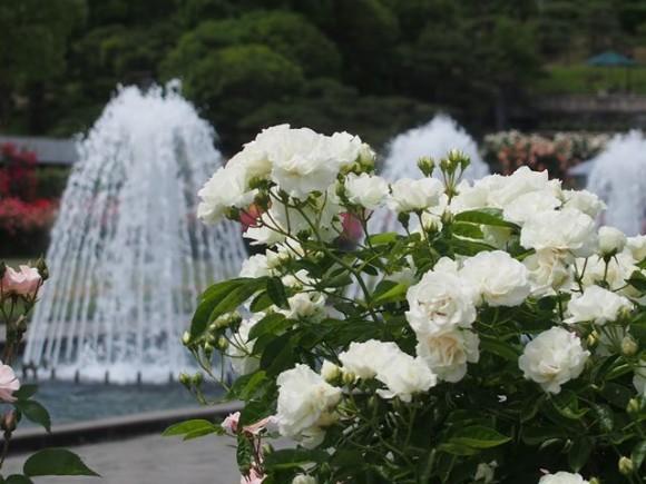 噴水とバラ2