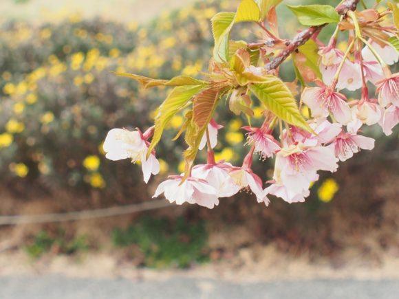 西郷川河口公園の河津桜