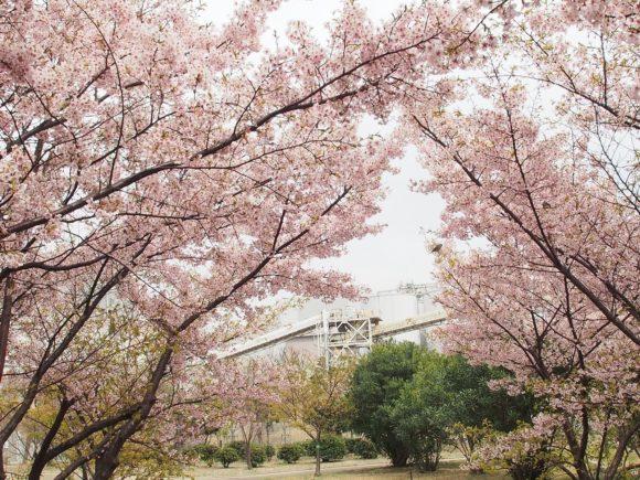 灘浜緑地の河津桜