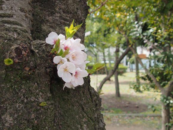 妙法寺川公園のサクラ