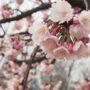 神戸で咲いている河津桜を求めて右往左往